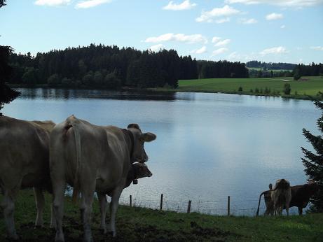 Glückliche Kühe am Kögelhofkoegelhof-kuehe